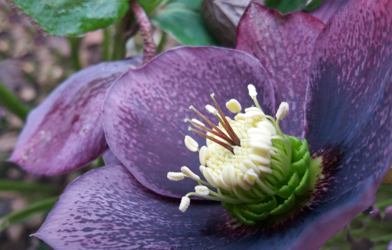 hellebore-late-winter-flower-1